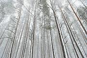 "Scots pines (Pinus sylvestris) under white snowstorm in coastal forest, nature park ""Ragakāpa"", Latvia Ⓒ Davis Ulands | davisulands.com"