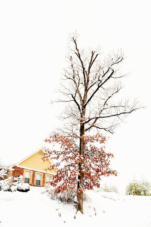 A snow covered tree extends towards the falling flakes