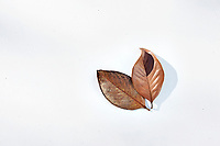 Magnolia Leaf Fallen Magnolia leaf photographed on white background with graphic shadow.