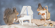 "EXCLUSIVE<br /> Photographer Pictures Squirrels With Tiny Musical Instruments Through Kitchen Window<br /> <br /> Some years ago, squirrels started to come to photographer Geert Weggen's  garden, He decided to build an outside studio from a balcony and started to shoot photos his kitchen window, Some days upto 6 squirrels visit Geert daily.<br /> <br /> This year Geert worked on an idea for a children's book, ""Squirrel Teaching You The Alphabet"", and was confronted with some letters like an object starting with an ""X"". That became a squirrel photo with a xylophone. From there Geert started doing a series of squirrel photos with music instruments. ""It took months to get some music instruments with the right size. I try to bring some magic, wonder and happiness with my work"", these are real photos. Sometimes I take away a wire or some food.<br /> <br /> Photo Shows: MUSIC DISCUSSIONS....red squirrels in snow with saxophone and piano <br /> ©Geert Weggen/Exclusivepix Media"