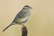 Bachman's Sparrow - Peucaea aestivalis