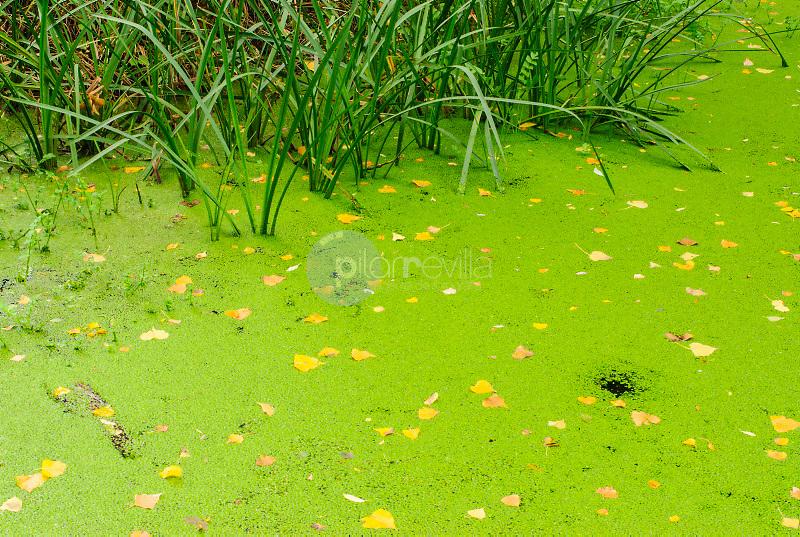 Lenteja de agua (Lemma minor) Rio Dulce.Parque Natural del Barranco del Rio Dulce.Pelegrina.Guadalajara ©Antonio Real Hurtado / PILAR REVILLA