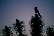 Raven rests on Joshua Tree - California