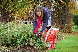 Mulching a kniphofia in a border with bark chippings