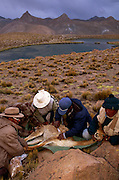 Shepherds shearing Wild Vicuna {Lama vicugna} at 5300m, Andes, Bolivia 2001