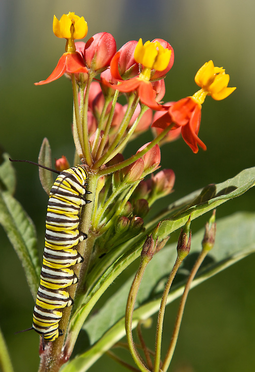 monarch caterpillar feeding on milkweed, preparing to change into a pupae then into a beautiful Monarch butterfly