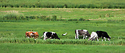 Mazury, 2008-07-17. Krowy pasące się na mazurskich łąkach