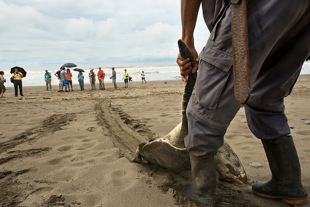 A dead sea turtle is removed from the beach along the Osa Peninsula in Costa Rica