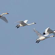 Tundra Swan (Cygnus columbianus) flock wing their way over Freezout Lake Wildlife Production Area during spring migration. Montana