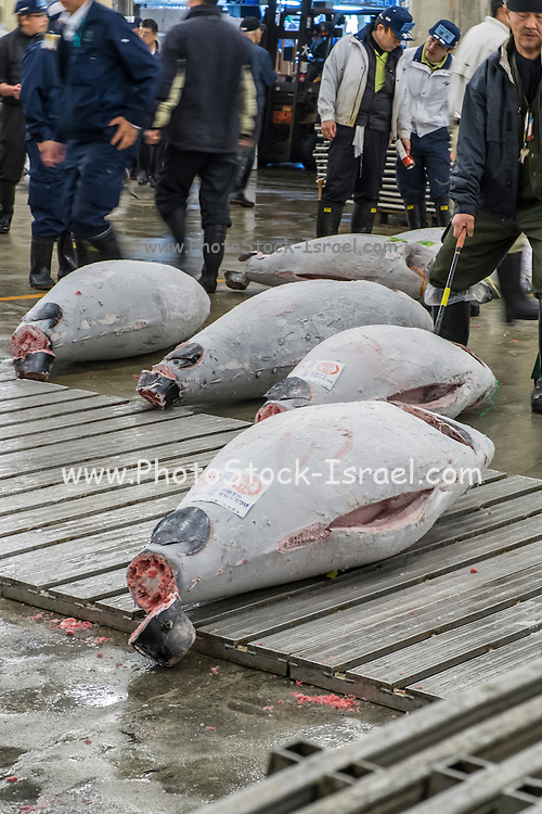 Japanese buyers inspect large frozen tuna fish on floor of warehouse in the Tsukiji fish market, largest in the world, Tokyo, Japan