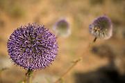Echinops adenocaulos, Globe thistle
