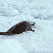 Harp Seal, (Pagophilus groenlandicus) Female checks on pup after first swim in ocean. Spring. Nova Scotia. Canada.