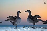 black-footed albatross, Phoebastria nigripes, courtship dance at dusk, Sand Island, Midway Atoll, Midway National Wildlife Refuge, Papahanaumokuakea Marine National Monument, Northwest Hawaiian Islands, USA ( North Pacific Ocean )