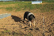British Saddleback pig outdoors free range farming, Suffolk, England, UK