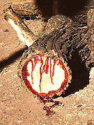 The BloodWood Tree<br /> Pterocarpus angolensis is a kind of teak native to southern Africa, known by various names such as Kiaat, Mukwa, and Muninga. It is also called the Bloodwood tree, so named for the tree's remarkable dark red colored sap. A chopped trunk or or a damaged branch of the tree starts dripping deep red fluid, almost like a severed limb of an animal. The sticky, reddish-brown sap seals the wound to promote healing.<br /> <br /> The red sap is used traditionally as a dye and in some areas mixed with animal fat to make a cosmetic for faces and bodies. It is also believed to have magical properties for the curing of problems concerning blood, apparently because of its close resemblance to blood. The tree is also used for treating many medical conditions such as ringworm, stabbing pains, eye problems, malaria, blackwater fever, stomach problems and to increase the supply of breast milk.<br /> ©Amazing Planet/Exclusivepix