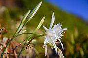 sea daffodil, sea pancratium lily (pancratium maritimum) on the mediterranean coast, israel in September