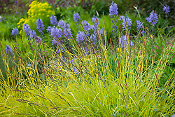 Carex elata 'Aurea'  (Bowles golden grass ) with camassias in the background at Glebe Cottage