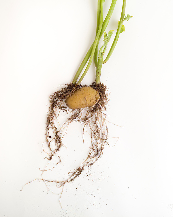 Vegetative reproduction, potato tuber