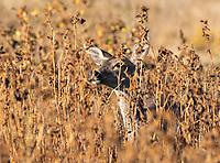 Black-tailed Deer, Odocoileus hemionus, in Sacramento National Wildlife Refuge, California
