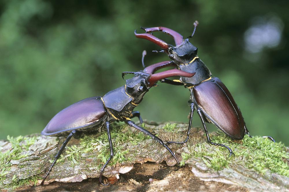 Stag Beetle - Lucanus cervus