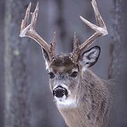 Whitetail Deer, (Odocoileus virginianus) Portrait of in timber.