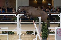 008, N Hero De Muze<br /> BWP Hengsten keuring Koningshooikt 2015<br /> © Hippo Foto - Dirk Caremans<br /> 23/01/16