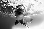 Facial view of a Leopard seal (Hydrurga leptonyx) during a close encounter, Astrolabe Island, Antarctica
