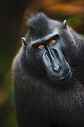 A close-up portrait of a Celebes Crested Macaque (Macaca nigra ) with amber-colored eyes, Sulawesi, Indonesia