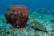 Hawksbill Turtle (Eretmochelys imbricata)<br /> Cenderawasih Bay<br /> West Papua<br /> Indonesia