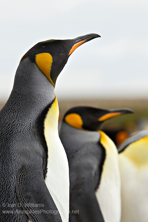 A king penguin look defiant as it stands guard beside its mate