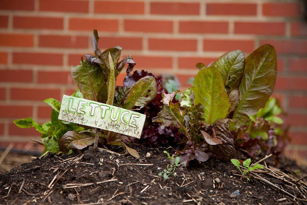 Image of vegetables in school garden.