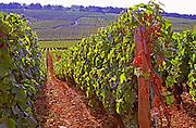 Vines in the famous Grand Cru Romanee Conti vineyard, Vosne, Bourgogne