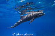 melon-headed whale, Peponocephala electra, female calf, two months old which wandered into shallow water after becoming separated from pod, Keauhou, Kona, Hawaii ( Central Pacific Ocean )