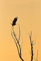 White-tailed Sea eagle (Haliaetus albicilla), Gornje Podunavlje Special Nature Reserve, Serbia
