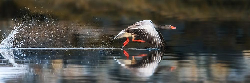 Gray goose running on water, with symetric reflection in the sea, and waterspray | Grågås løper på sjøen, med symetrisk speilbilde, og vannsprut bak.