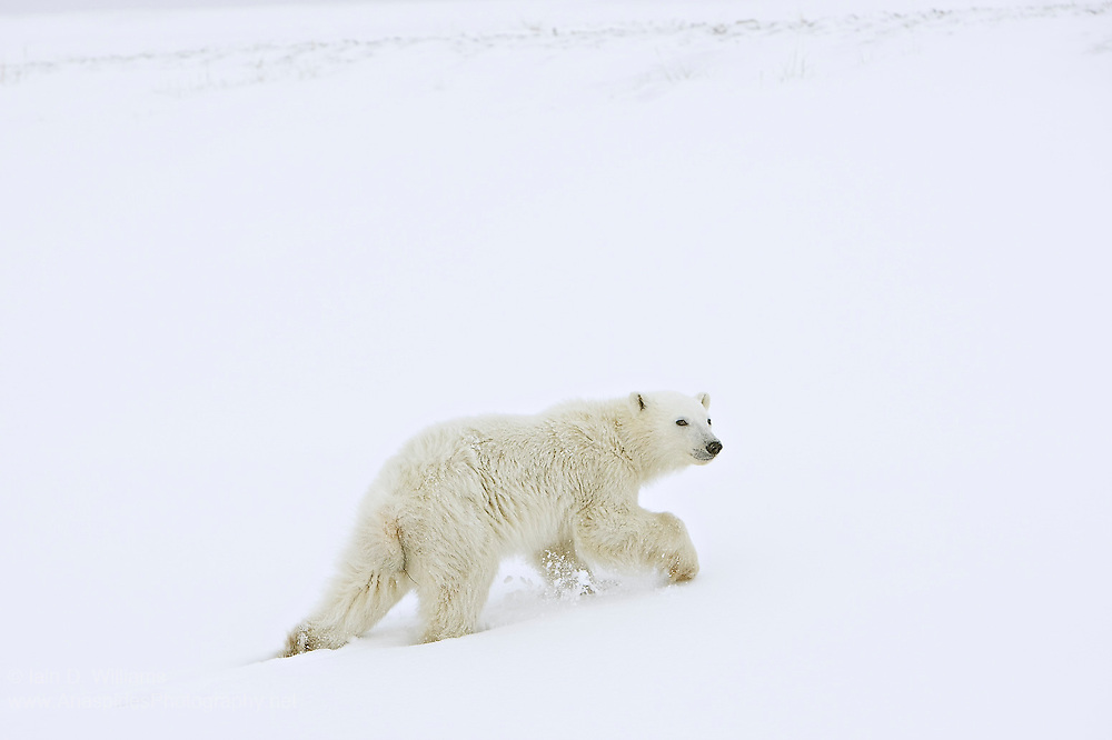 A polar bear cub moved away from the photographer along a snow drift in the high Arctic in Canada