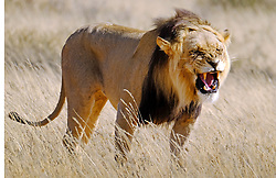 Kgalagadi. 05.7.16. A male kalahari lion near Kij Kij.  Picture Ian Landsberg