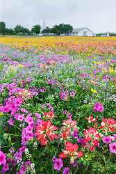 Wildlfowers in field, near New Berlin Texas, near San Antonio, USA.