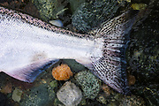Close up of chinook salmon tail. Dean River, BC