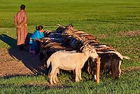 Mongolie, Province de Bayankhongor, campement nomade, traite des chèvres // Mongolia, Bayankhongor province, nomad camp, goat milking