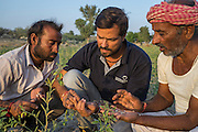 Technoserve's Assistant Project Manager, Piyush Tiwari, discusses plant diseases with guar farmer Bhanwarlal Sharma, 60, and his son, Arjun Sharma, 28, in their agriculture field in Bamanwali village, Bikaner, Rajasthan, India on October 24th, 2016. Non-profit organisation Technoserve works with farmers in Bikaner, providing technical support and training, causing increased yield from implementation of good agricultural practices as well as a switch to using better grains better suited to the given climate. Photograph by Suzanne Lee for Technoserve