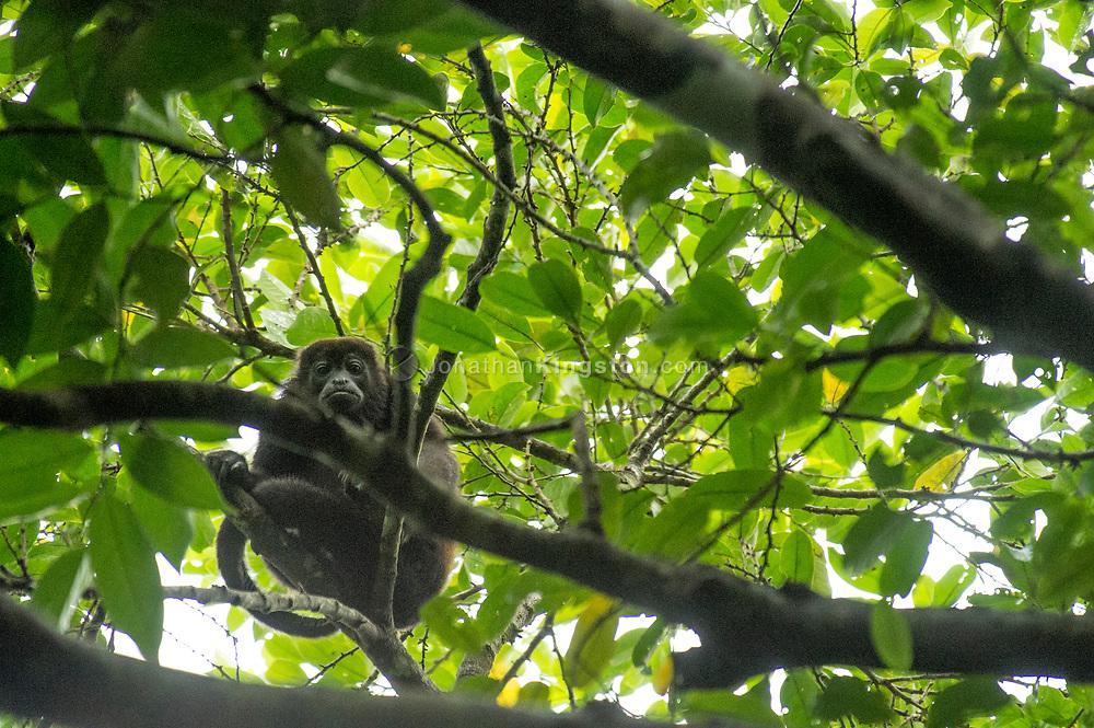Howler monkey, Alouatta Alouattinae, looking at the camera in Panama.