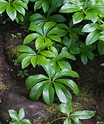 Colorful green Hellebores form a dense ground cover in a woodland setting