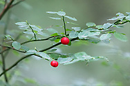 Two berries on a Red Huckleberry (Vaccinium parvifolium) plant in the Langley Municipal Nature Reserve in Langley, British Columbia, Canada