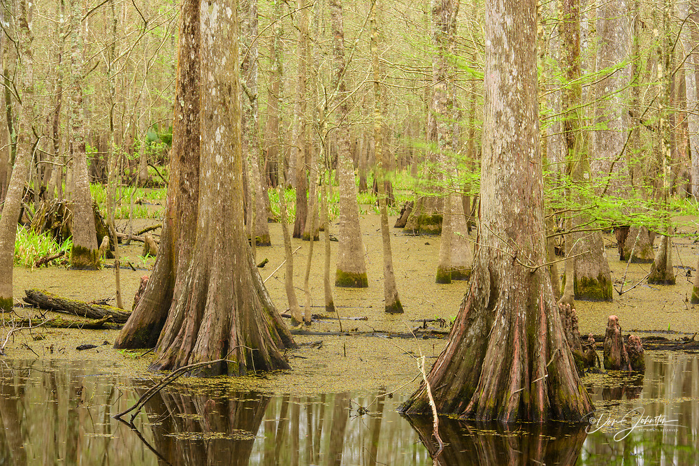 Cypress swamp, Abbeville, Louisiana, USA