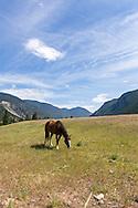 A horse grazing in a field near Hedley, British Columbia, Canada