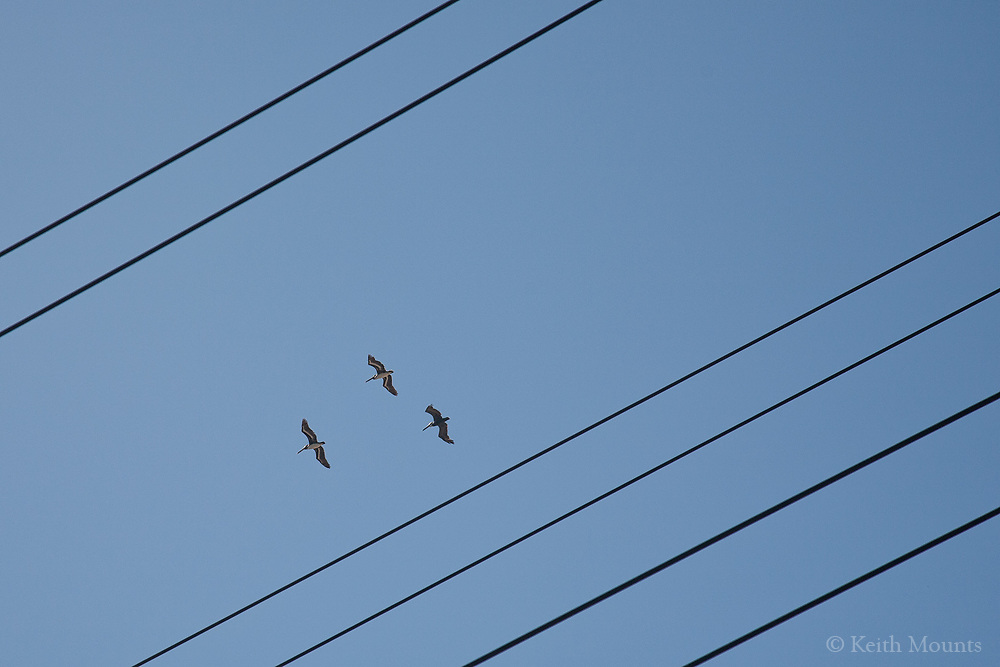 Pelicans flying in traffic lanes?