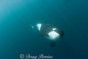 Orca, or killer whale, Orcinus orca<br /> underwater<br /> ( South Pacific Ocean )