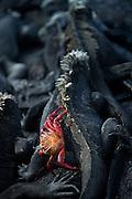 A Sally Lightfoot crab on a Marine Iguana, North Fernandina Island, Galapagos, Ecuador, South America