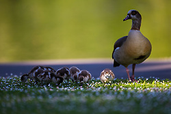 A goose watches over her goslings as the feed on the daisy grass as a beautiful morning greets Londoners in Regents Park. London, May 09 2018.